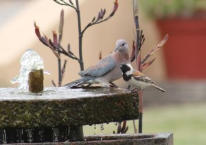 Laughing Dove and Cape Sparrow