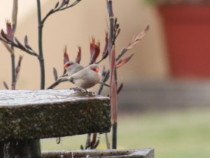 swakop-common-waxbill
