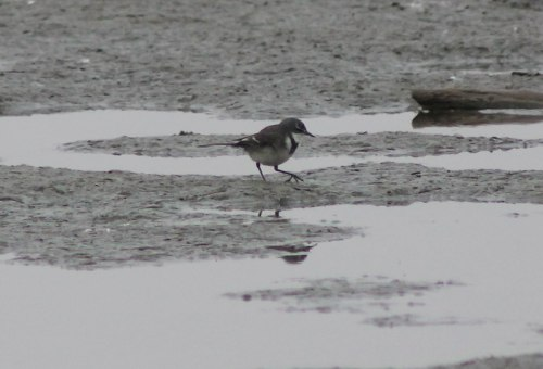 swakopmund-common-ringed-plover